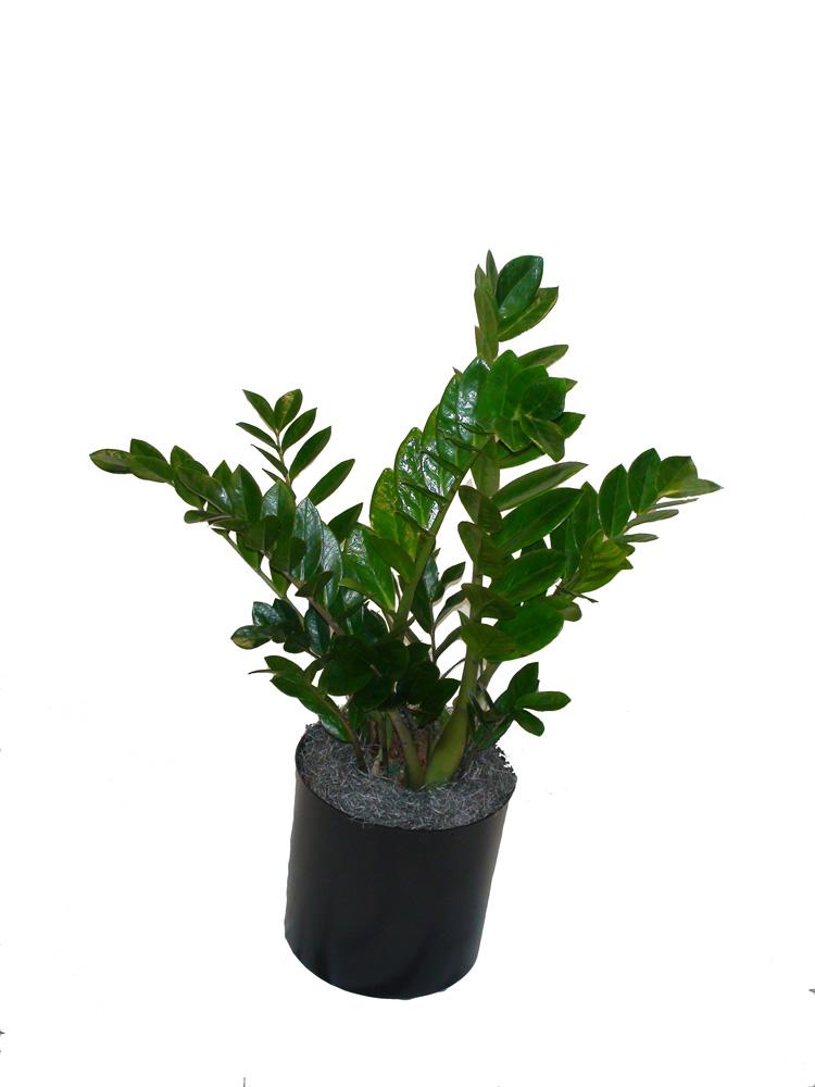 Zz Zulu The Plant Lady