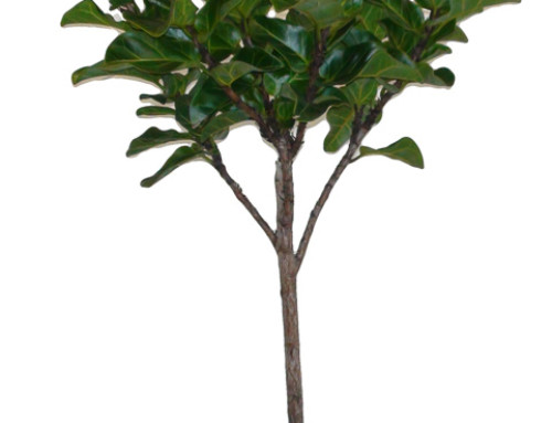 Mini Fiddle Leaf Fig